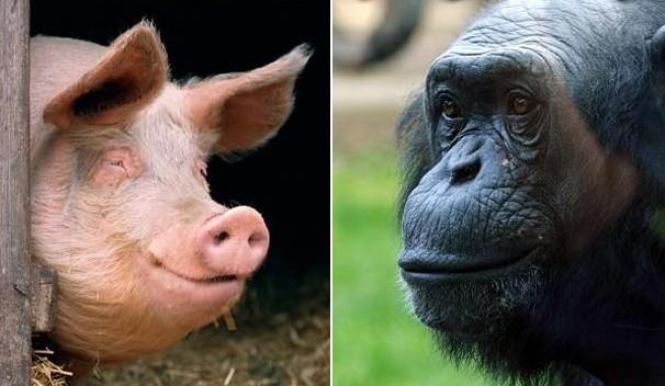 Humanos teriam surgido como resultado do cruzamento entre chimpanzé e porco