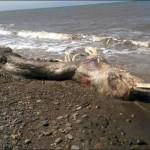 Carcaça de criatura marinha estranha é encontrado em praia da Rússia