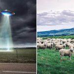 Alienígenas abduziram rebanho de ovelhas