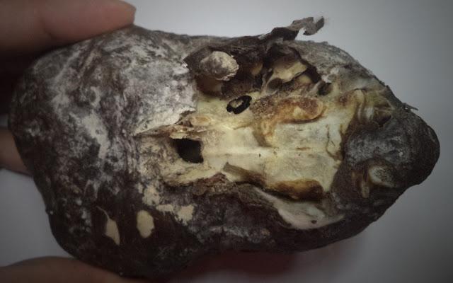 pequeno-cranio-alongado-3